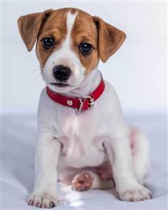 Mikroflanelová dětská deka Jack Russel terrier 120x150 cm